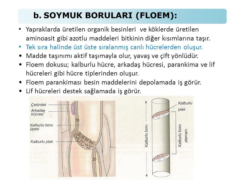 b. SOYMUK BORULARI (FLOEM): • Yapraklarda üretilen organik besinleri ve köklerde üretilen aminoasit gibi azotlu maddeleri bitkinin diğer kısımlarına t