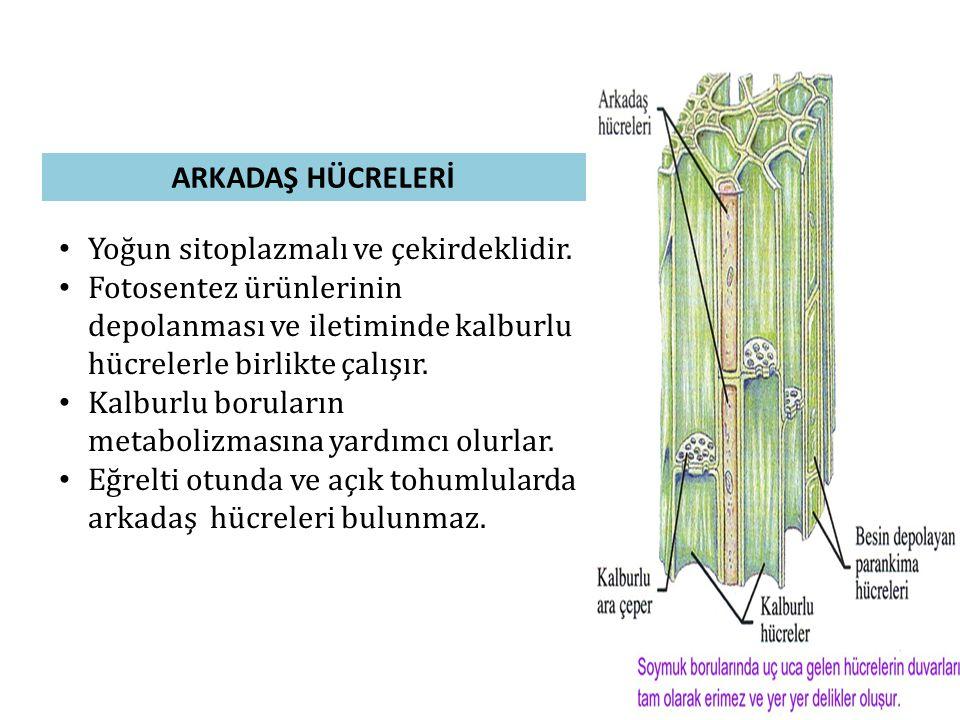 ARKADAŞ HÜCRELERİ • Yoğun sitoplazmalı ve çekirdeklidir. • Fotosentez ürünlerinin depolanması ve iletiminde kalburlu hücrelerle birlikte çalışır. • Ka
