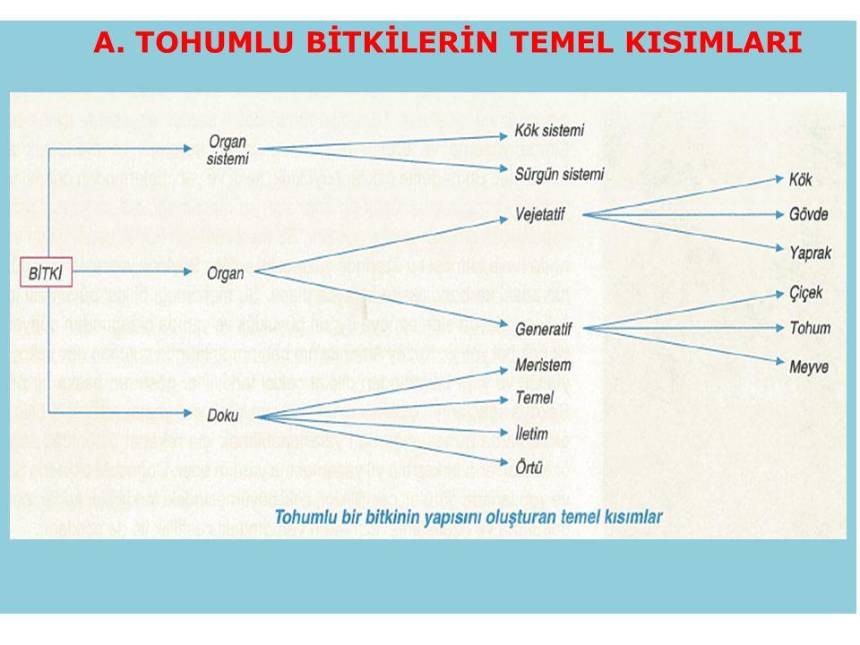 B.BİTKİSEL DOKULAR 1. BÖLÜNÜR (meristem) DOKULAR A.