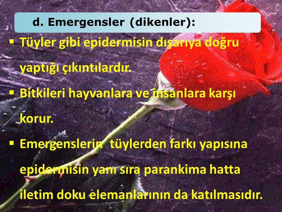d. Emergensler (dikenler):  Tüyler gibi epidermisin dışarıya doğru yaptığı çıkıntılardır.  Bitkileri hayvanlara ve insanlara karşı korur.  Emergens
