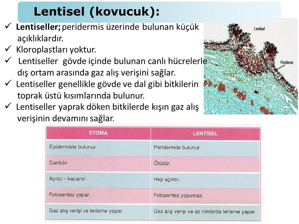  Lentiseller; peridermis üzerinde bulunan küçük açıklıklardır.  Kloroplastları yoktur.  Lentiseller gövde içinde bulunan canlı hücrelerle dış ortam