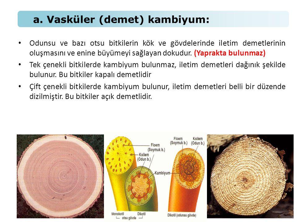 • Odunsu ve bazı otsu bitkilerin kök ve gövdelerinde iletim demetlerinin oluşmasını ve enine büyümeyi sağlayan dokudur. (Yaprakta bulunmaz) • Tek çene