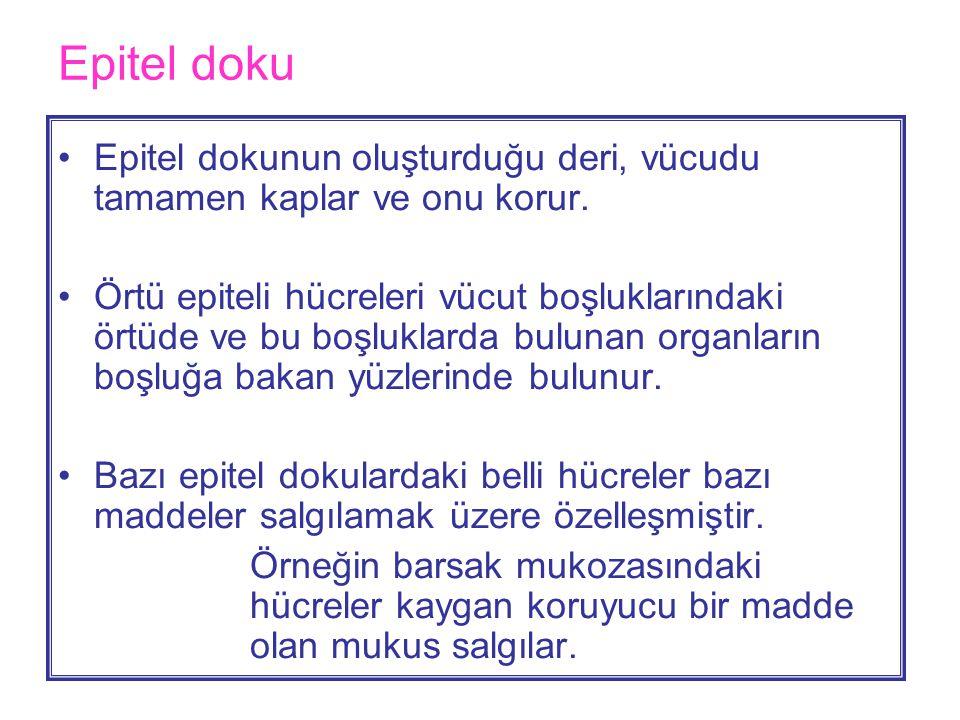 Epitel doku •Epitel dokunun oluşturduğu deri, vücudu tamamen kaplar ve onu korur.