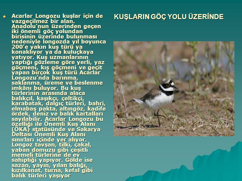 KUŞLARIN GÖÇ YOLU ÜZERİNDE  Acarlar Longozu kuşlar için de vazgeçilmez bir alan. Anadolu'nun üzerinden geçen iki önemli göç yolundan birisinin üzerin