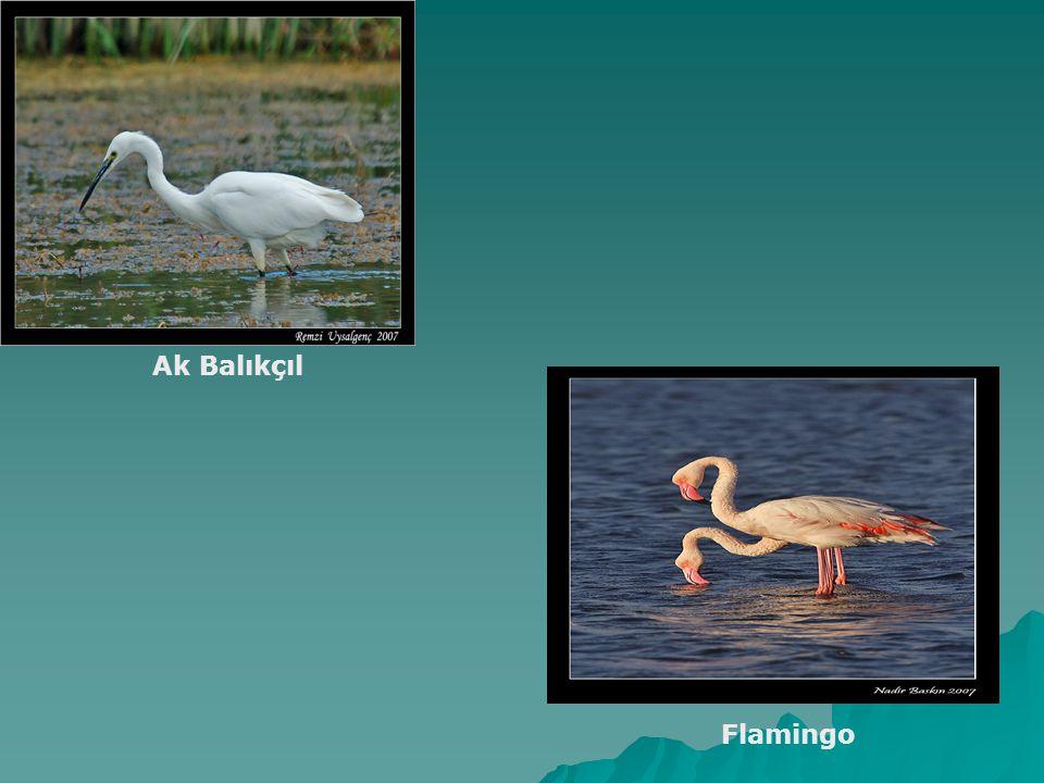 Ak Balıkçıl Flamingo