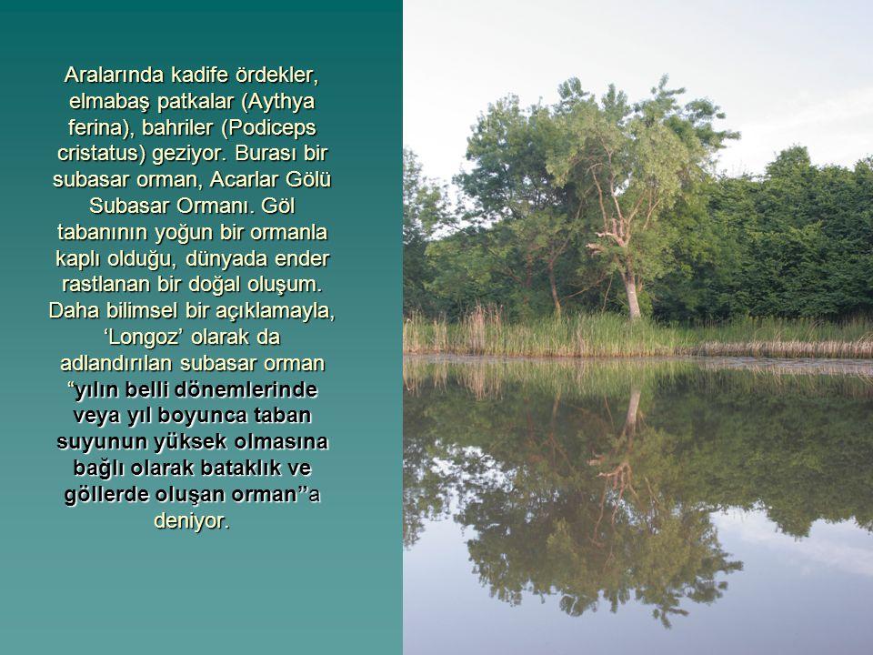 Aralarında kadife ördekler, elmabaş patkalar (Aythya ferina), bahriler (Podiceps cristatus) geziyor. Burası bir subasar orman, Acarlar Gölü Subasar Or
