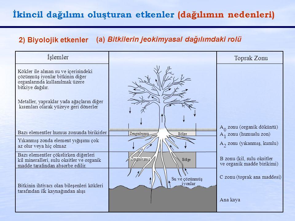 İkincil dağılımı oluşturan etkenler (dağılımın nedenleri) 2) Biyolojik etkenler (a) Bitkilerin jeokimyasal dağılımdaki rolü Zenginleşmiş Ana kaya C zo