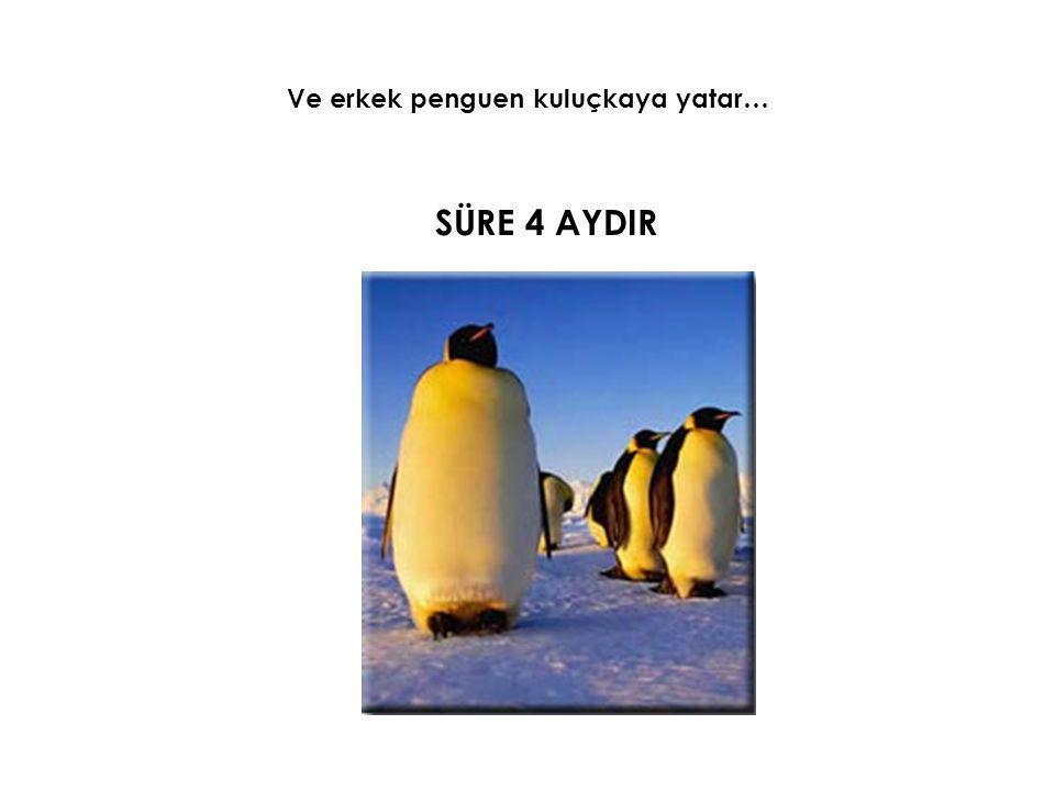 4 AY BOYUNCA Erkek penguen doğacak minik sevimli yavrusu için • -40°C ye kadar düşen soğuğa göğüs gerer • Hızı 120 km yi bulan kutup fırtınalara dayanır VE Aç kalır