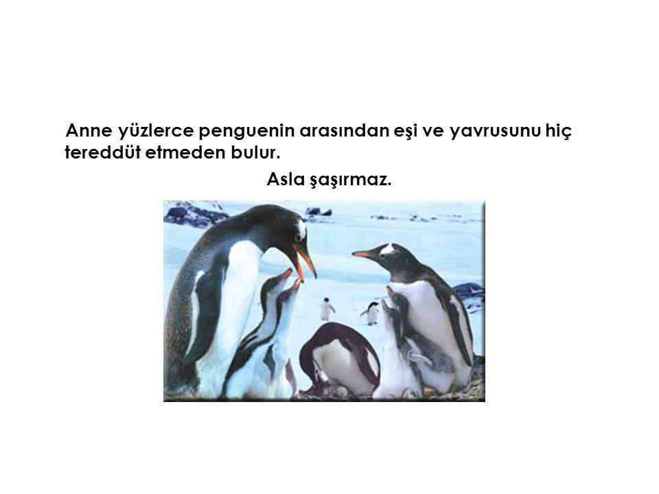 Anne yüzlerce penguenin arasından eşi ve yavrusunu hiç tereddüt etmeden bulur. Asla şaşırmaz.
