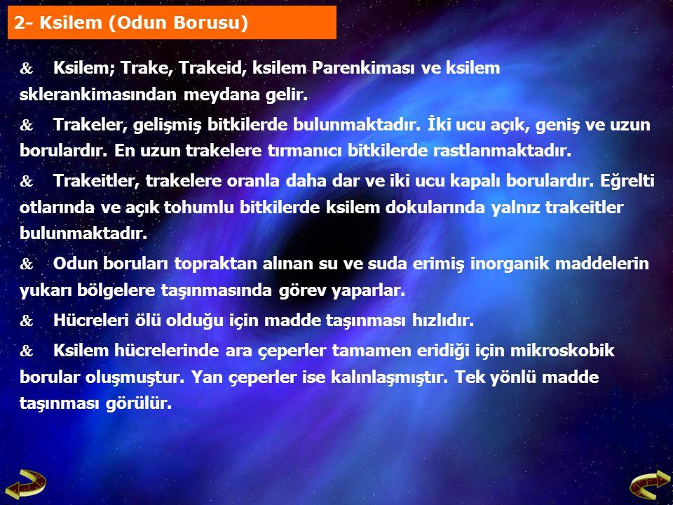 2- Ksilem (Odun Borusu)  Ksilem; Trake, Trakeid, ksilem Parenkiması ve ksilem sklerankimasından meydana gelir.  Trakeler, gelişmiş bitkilerde bulunm