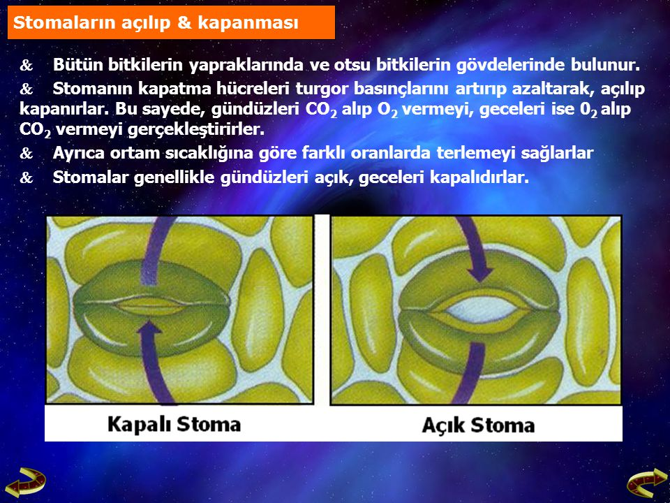 Işıklı Ortam Işıklı Ortam Fotosentez Başlar Fotosentez Başlar Glikoz Üretilir Glikoz Üretilir Yoğunluk Artar Yoğunluk Artar Stoma Hücrelerine Su Girer Stoma Hücrelerine Su Girer Stoma Hücrelerinin Turgor Basıncı Artar Stoma Hücrelerinin Turgor Basıncı Artar Su, Stoma Hücrelerinin İnce Kısımlarına (Dış Çeper) Etki Ederek Stomaların Açılmasını Sağlar Su, Stoma Hücrelerinin İnce Kısımlarına (Dış Çeper) Etki Ederek Stomaların Açılmasını Sağlar Stomaların açılması Stoma Hücrelerinin Stoma Hücrelerinin Osmotik Basıncı Artar, pH Azalır Osmotik Basıncı Artar, pH Azalır