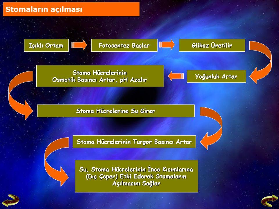Stoma Hücrelerinde Fotosentez ve Glikoz Üretimi Durur Stoma Hücrelerinde Fotosentez ve Glikoz Üretimi Durur Stoma Hücrelerine Su Girişi Durur Stoma Hücrelerine Su Girişi Durur Stoma Hücrelerin Kapanır Stoma Hücrelerin Kapanır Stomaların Kapanması Üretilen Glikozlar Nişastaya Dönüştürülür Üretilen Glikozlar Nişastaya Dönüştürülür Hücre İçi Yoğunluk Azalır, pH Artar Hücre İçi Yoğunluk Azalır, pH Artar