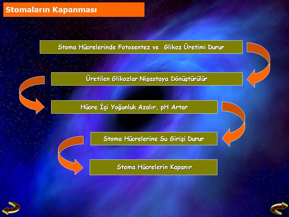 Stoma Hücrelerinde Fotosentez ve Glikoz Üretimi Durur Stoma Hücrelerinde Fotosentez ve Glikoz Üretimi Durur Stoma Hücrelerine Su Girişi Durur Stoma Hü