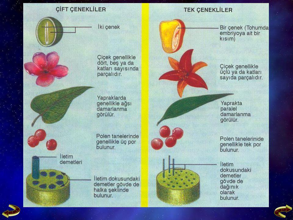 1- Fluem (Soymuk Borusu)  Fluem; soymuk boruları, arkadaş hücreleri, fluem parenkiması ve fluem sklerankiması'ndan oluşur.