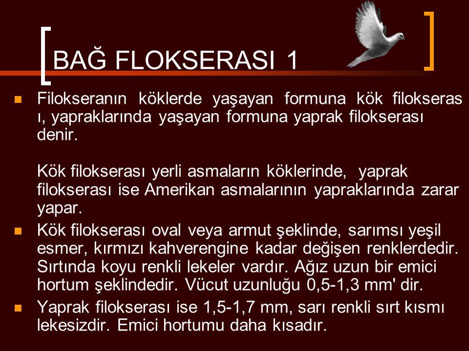 BAĞ FLOKSERASI 1  Filokseranın köklerde yaşayan formuna kök filokseras ı, yapraklarında yaşayan formuna yaprak filokserası denir. Kök filokserası yer