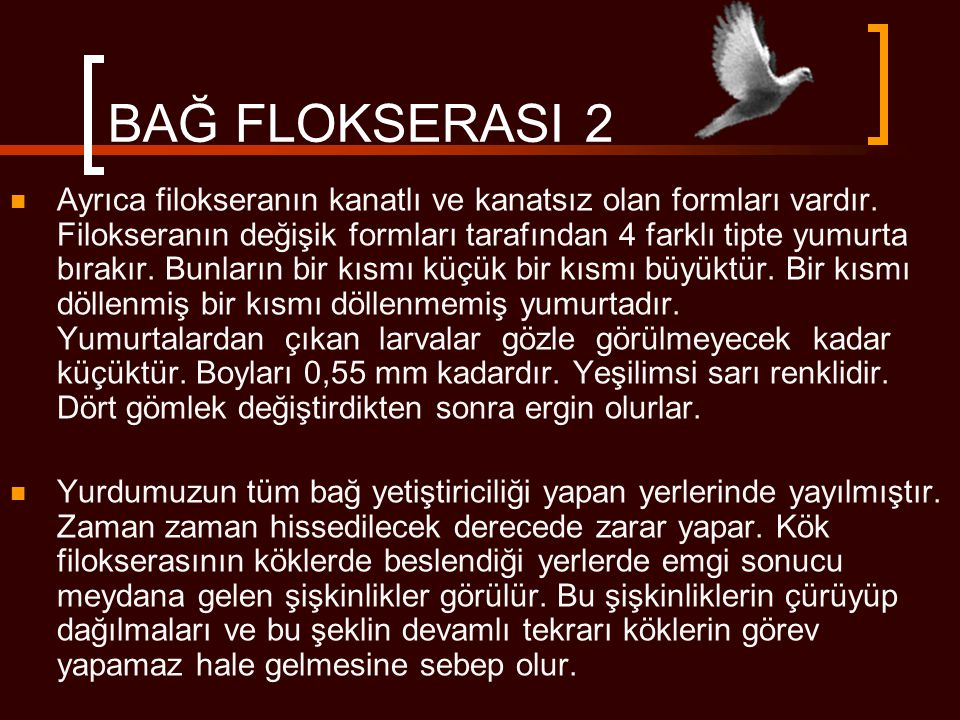 BAĞ FLOKSERASI 2  Ayrıca filokseranın kanatlı ve kanatsız olan formları vardır. Filokseranın değişik formları tarafından 4 farklı tipte yumurta bırak