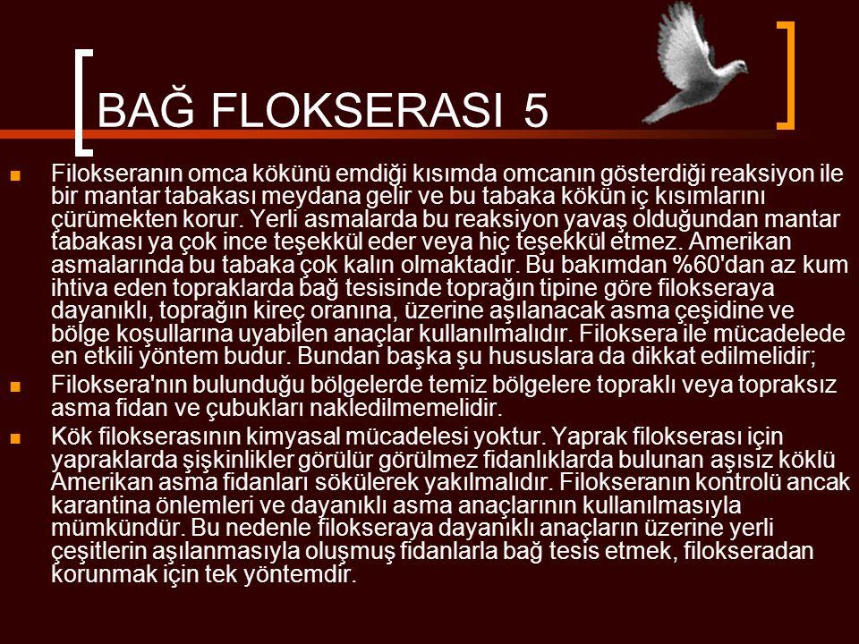 BAĞ FLOKSERASI 5  Filokseranın omca kökünü emdiği kısımda omcanın gösterdiği reaksiyon ile bir mantar tabakası meydana gelir ve bu tabaka kökün iç kı