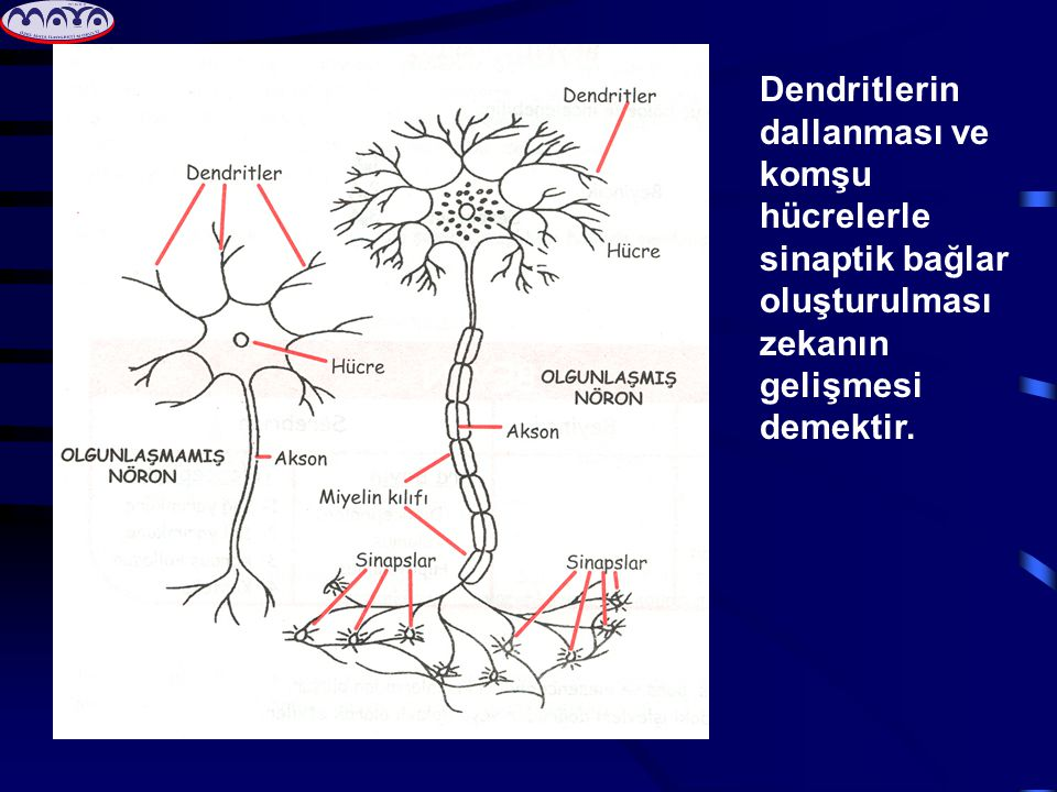 • Beynin sağ ve sol yarı küreleri bilgiyi farklı şekillerde işlerler.