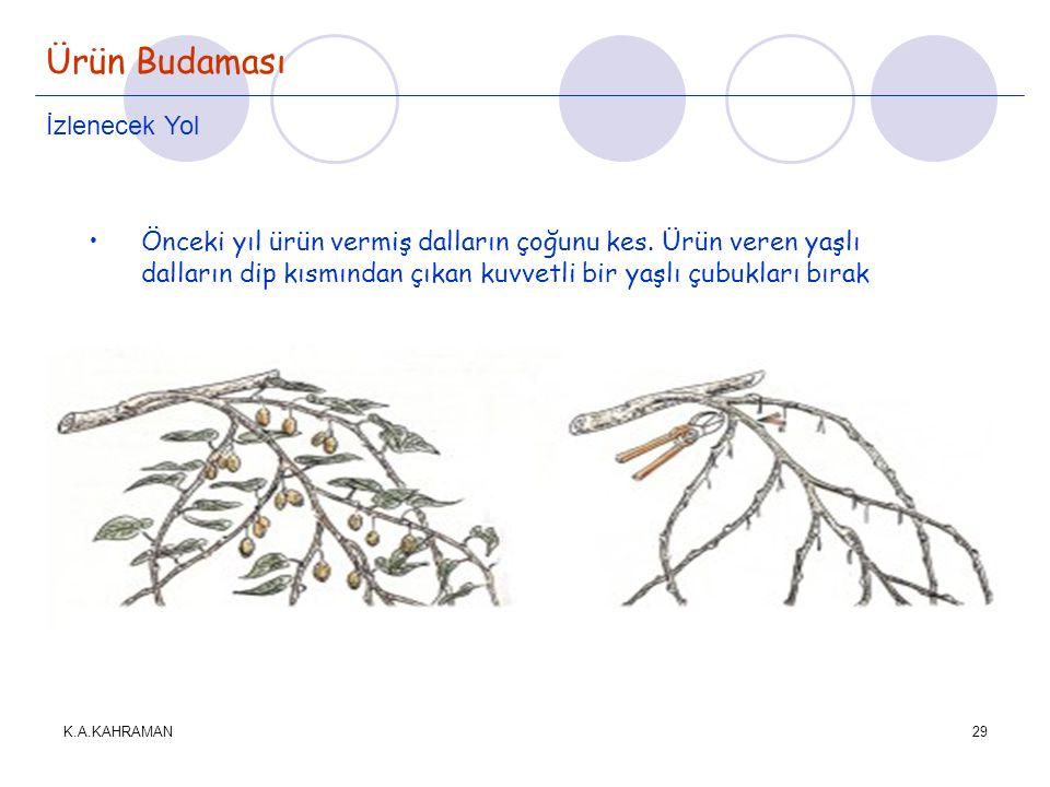 K.A.KAHRAMAN29 Ürün Budaması İzlenecek Yol •Önceki yıl ürün vermiş dalların çoğunu kes. Ürün veren yaşlı dalların dip kısmından çıkan kuvvetli bir yaş