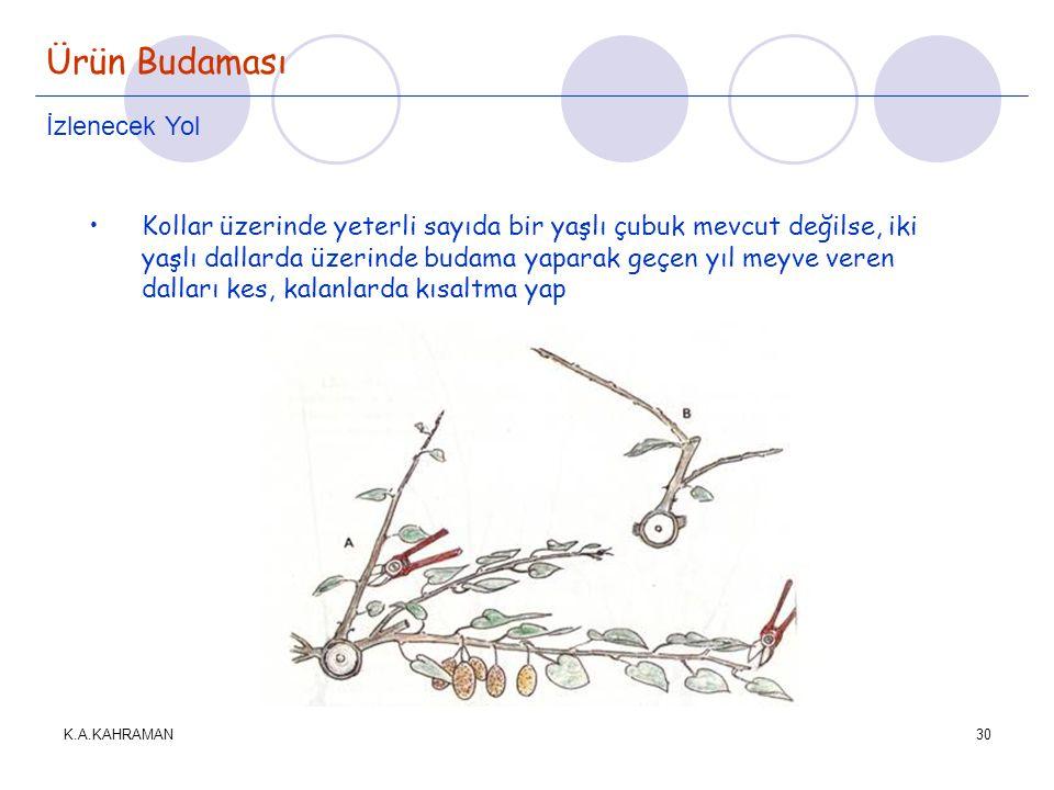 K.A.KAHRAMAN30 Ürün Budaması İzlenecek Yol •Kollar üzerinde yeterli sayıda bir yaşlı çubuk mevcut değilse, iki yaşlı dallarda üzerinde budama yaparak