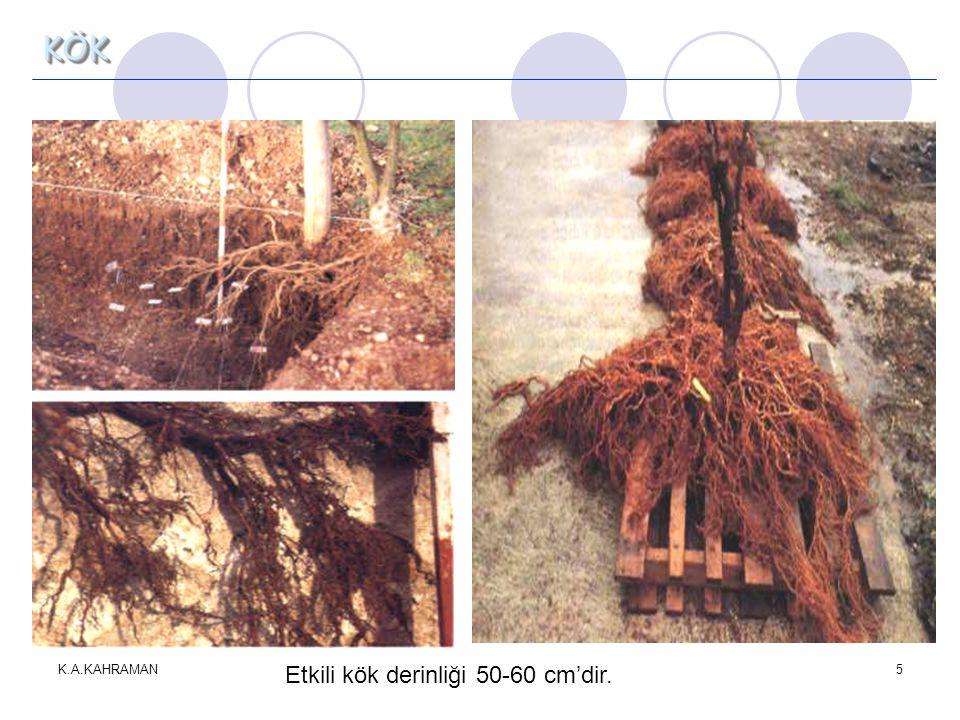 K.A.KAHRAMAN5 KÖK Etkili kök derinliği 50-60 cm'dir.