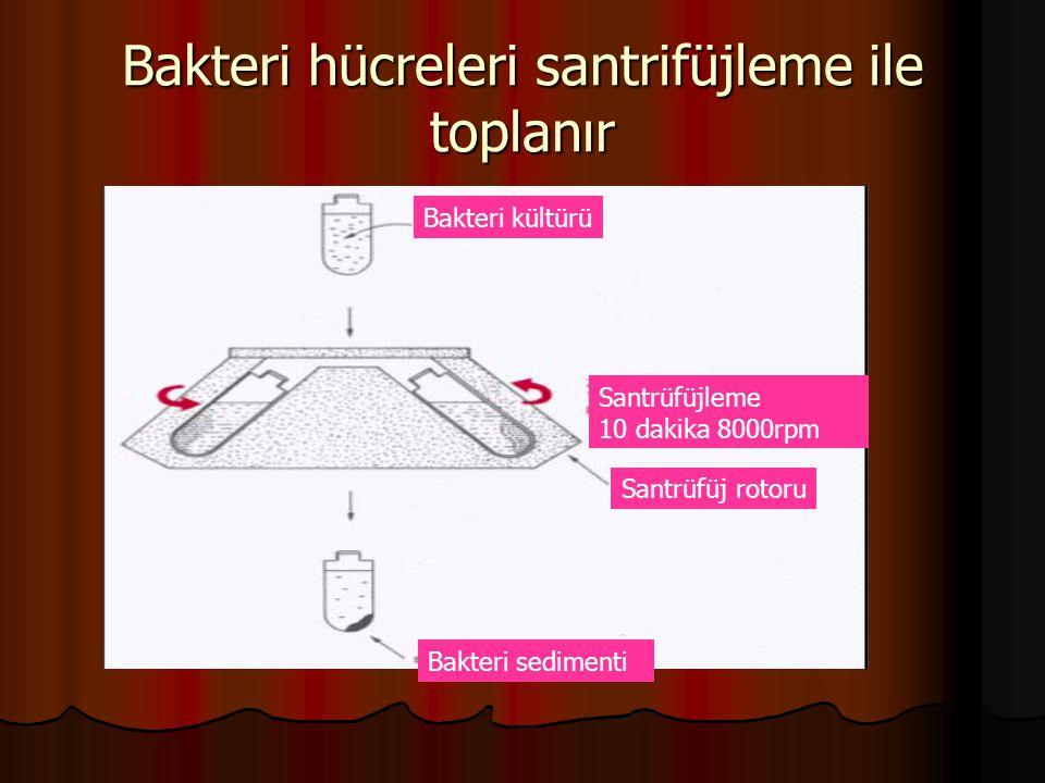 Bakteri hücreleri santrifüjleme ile toplanır Bakteri kültürü Santrüfüjleme 10 dakika 8000rpm Santrüfüj rotoru Bakteri sedimenti