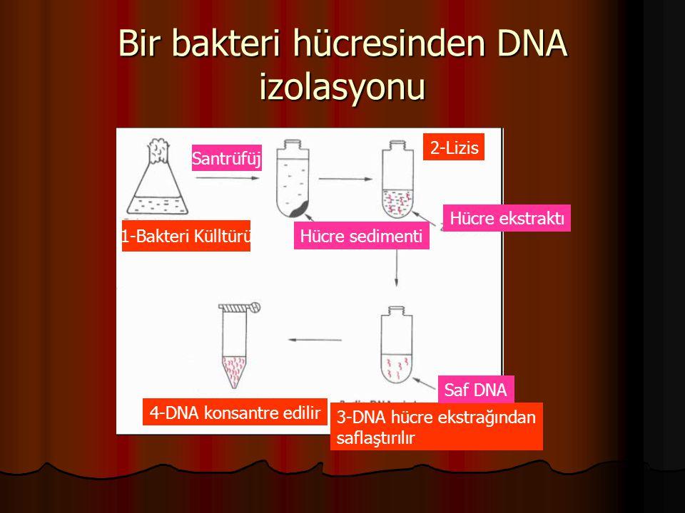 Bir bakteri hücresinden DNA izolasyonu 1-Bakteri Külltürü Santrüfüj Hücre sedimenti Hücre ekstraktı 2-Lizis 3-DNA hücre ekstrağından saflaştırılır 4-D