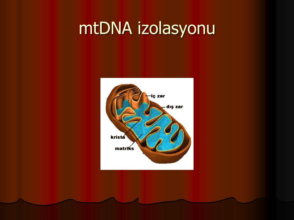 mtDNA izolasyonu