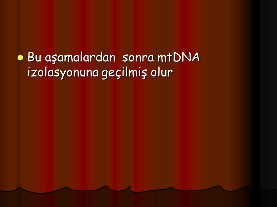  Bu aşamalardan sonra mtDNA izolasyonuna geçilmiş olur