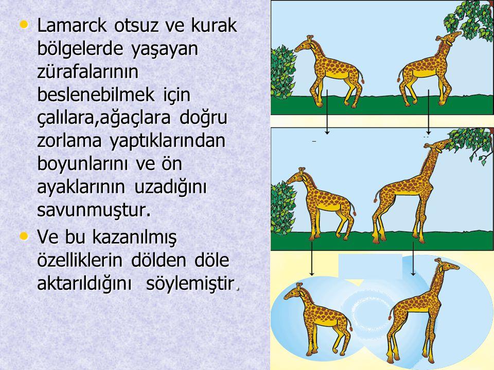 • Lamarck otsuz ve kurak bölgelerde yaşayan zürafalarının beslenebilmek için çalılara,ağaçlara doğru zorlama yaptıklarından boyunlarını ve ön ayakları
