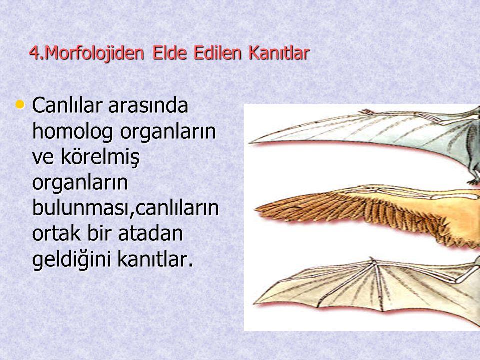 4.Morfolojiden Elde Edilen Kanıtlar • Canlılar arasında homolog organların ve körelmiş organların bulunması,canlıların ortak bir atadan geldiğini kanı