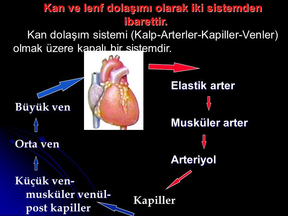 Kalp Kalp: Kanı pompalayan musküler bir kesedir.