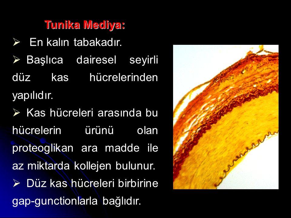 Tunika Mediya: Tunika Mediya:  En kalın tabakadır.