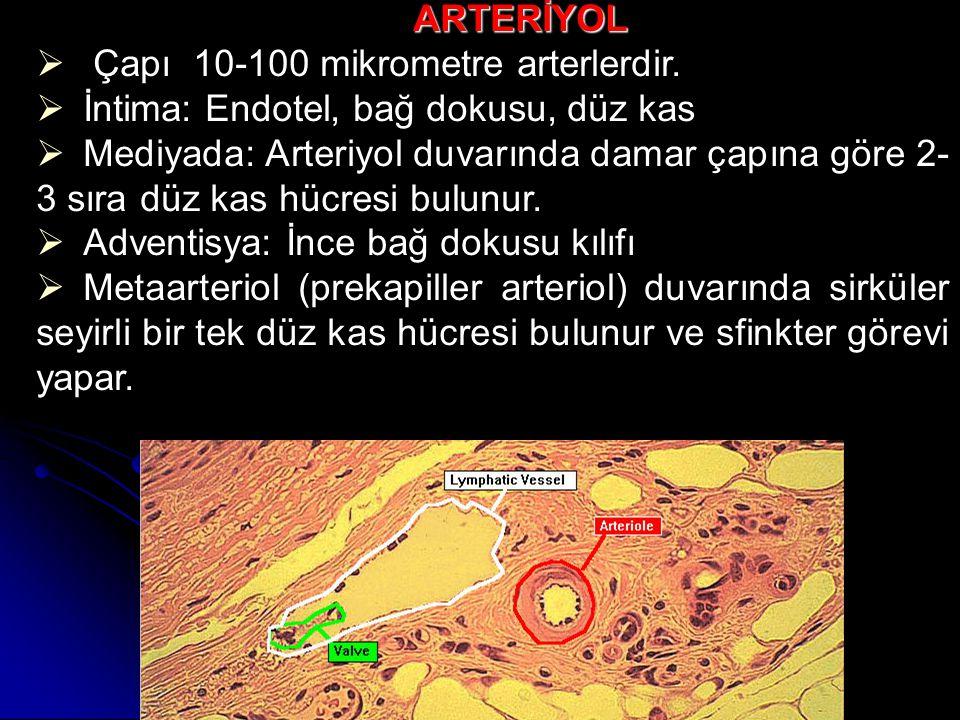 T.İntimada:  Endotel ve subendotel bulunur.