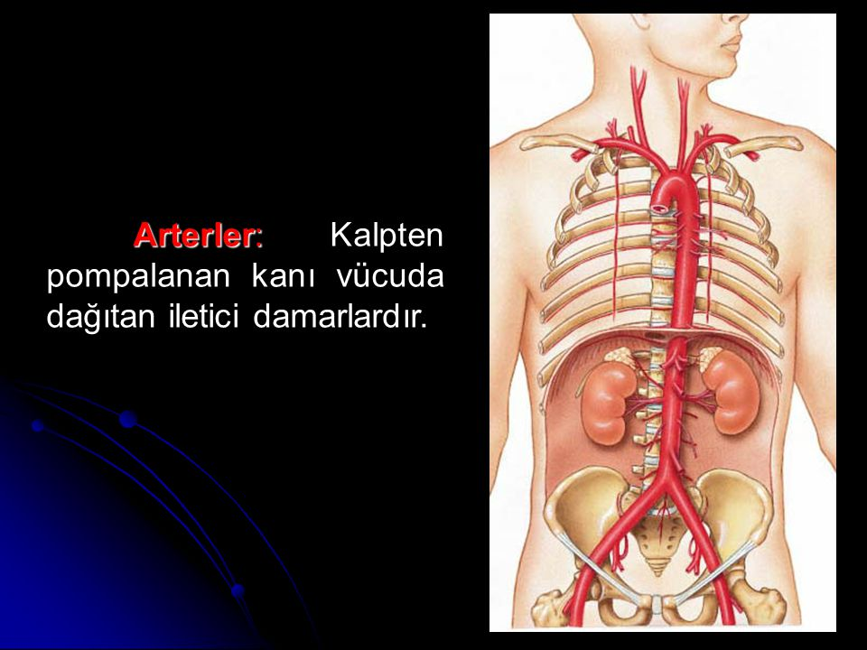 Arterler: Arterler: Kalpten pompalanan kanı vücuda dağıtan iletici damarlardır.