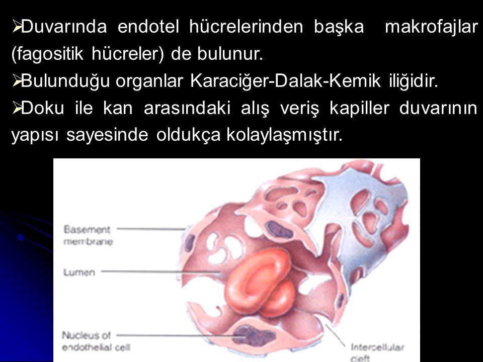  Duvarında endotel hücrelerinden başka makrofajlar (fagositik hücreler) de bulunur.