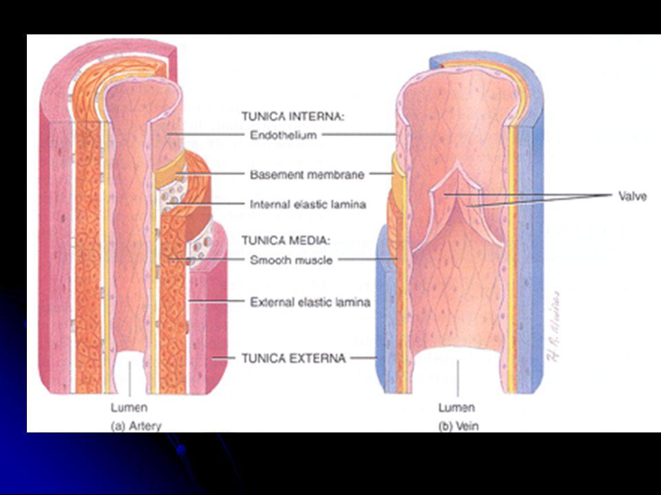 Venler arterler gibi üç tabakadan ibarettir Tunika İntima: Tunika İntima: İnce bir tabakadır, endotel ile subendotelden oluşur.