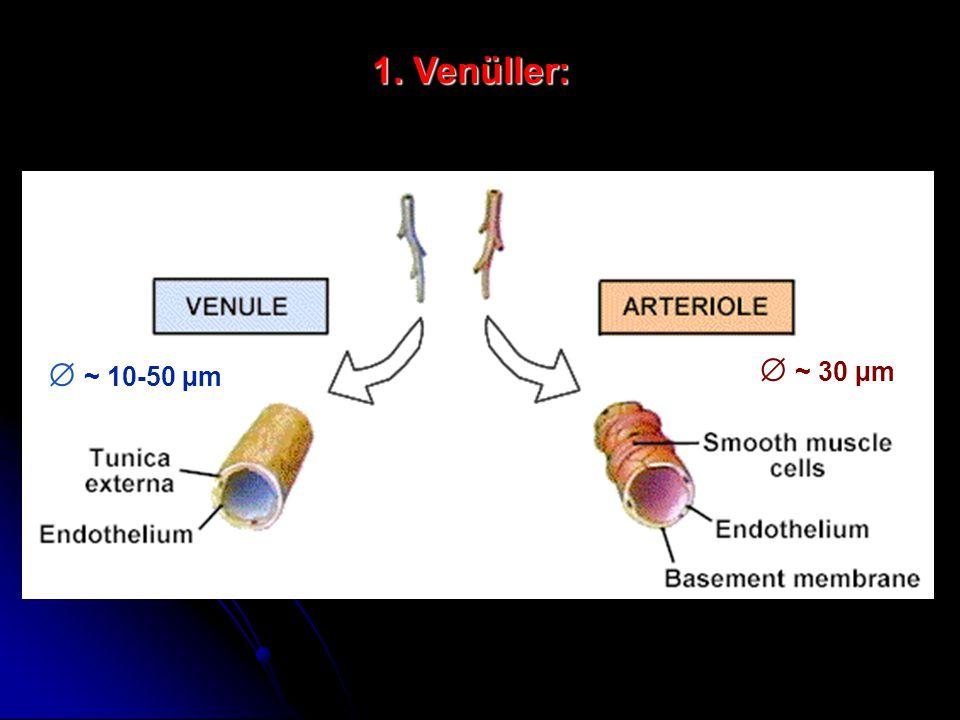  ~ 10-50 µm  ~ 30 µm 1. Venüller: