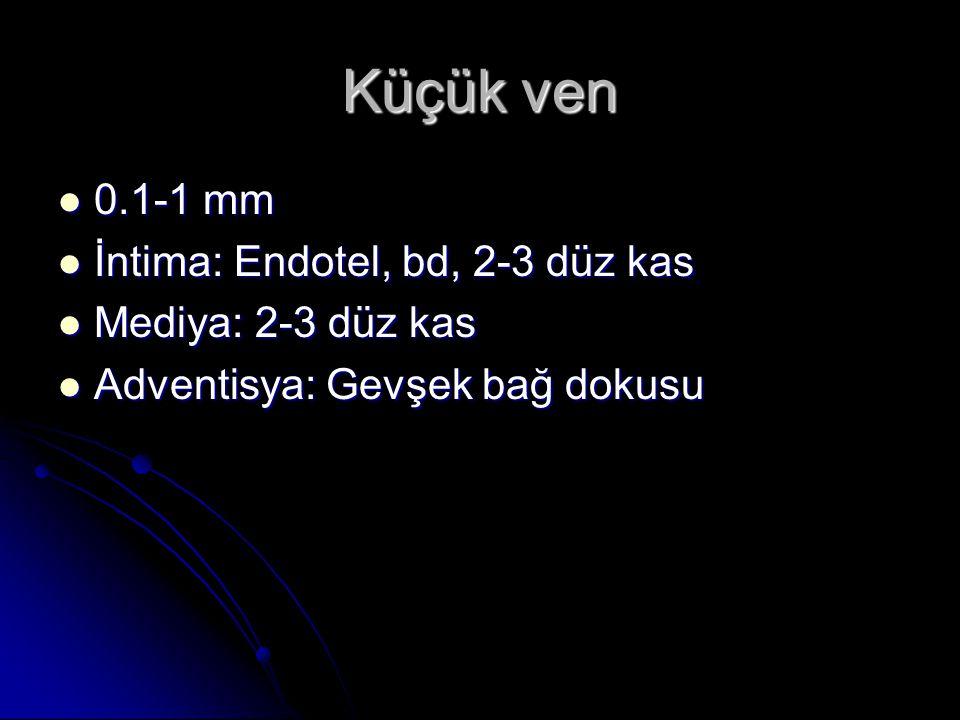 Orta ven  1-10 mm  İntima: Endotel, bd, düz kas, internal elastik membran  Mediya: Düz kas, kollajen lifler  Adventisya: Mediyadan daha kalın gevşek bağ dokusu