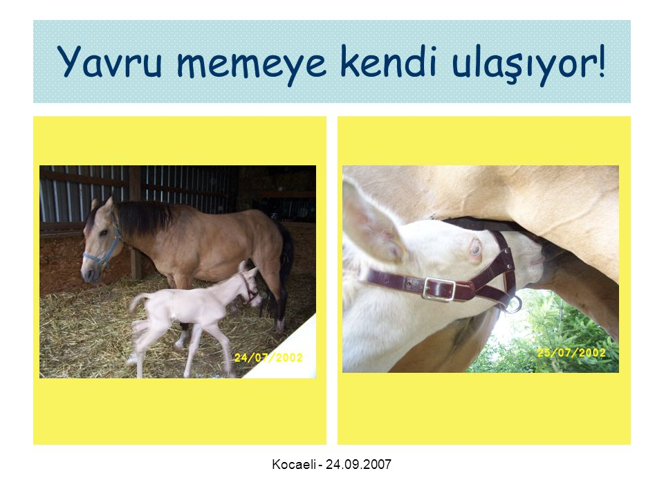 Kocaeli - 24.09.2007 Yavru memeye kendi ulaşıyor!