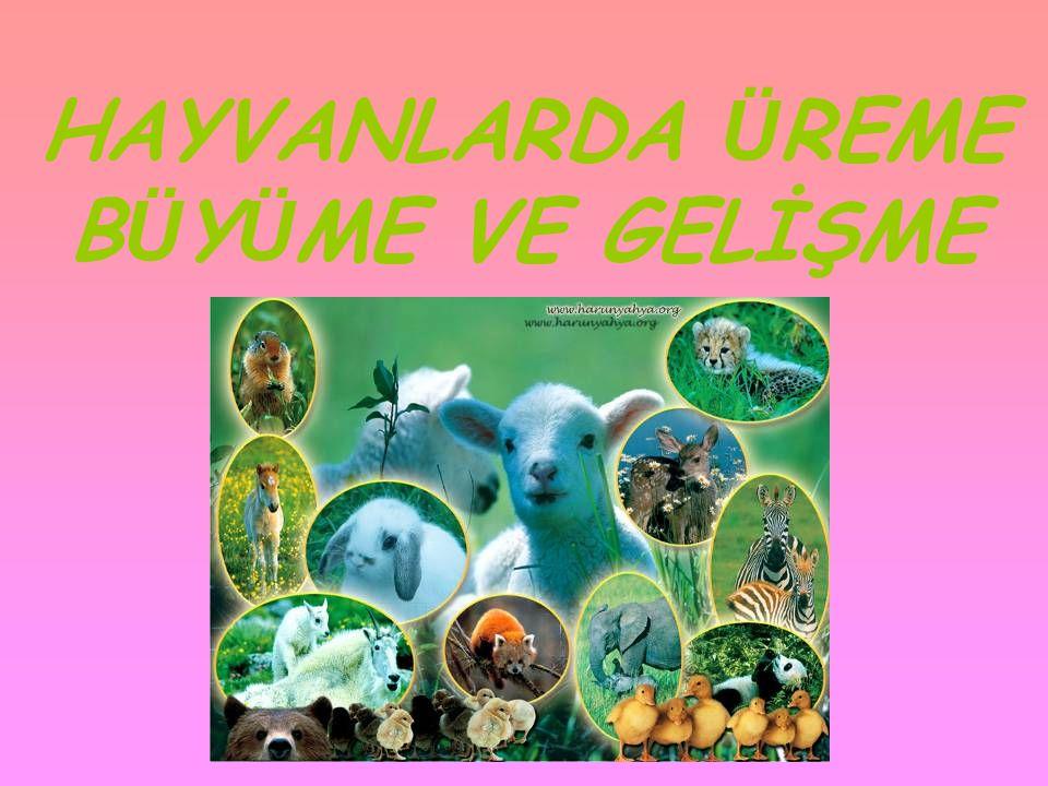 HAYVANLARDA Ü REME •Eşeyli ü reyen hayvanlarda yumurta ve sperm h ü creleri ü reme organlarında oluşur.Hayvanlar farklı çoğalma şekillerine sahiptirler.