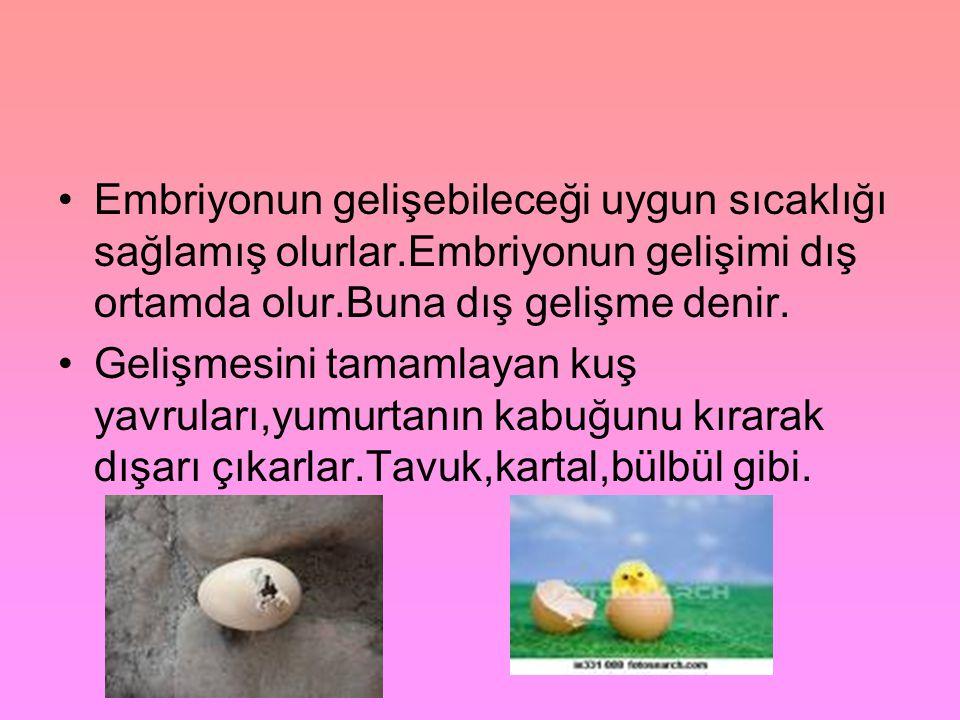 •Embriyonun gelişebileceği uygun sıcaklığı sağlamış olurlar.Embriyonun gelişimi dış ortamda olur.Buna dış gelişme denir. •Gelişmesini tamamlayan kuş y