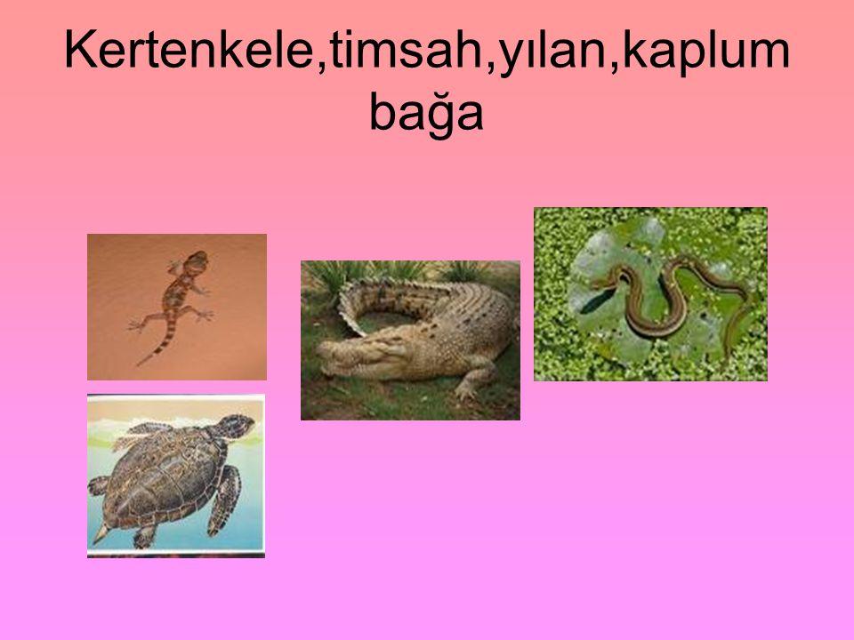 Kertenkele,timsah,yılan,kaplum bağa