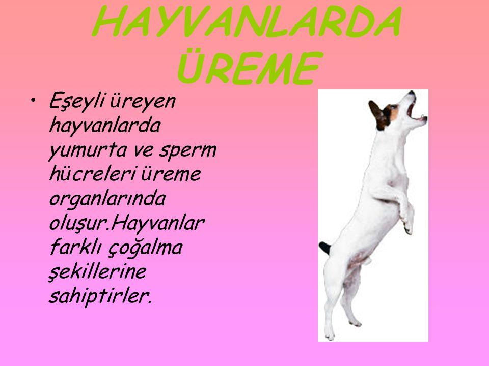 HAYVANLARDA Ü REME •Eşeyli ü reyen hayvanlarda yumurta ve sperm h ü creleri ü reme organlarında oluşur.Hayvanlar farklı çoğalma şekillerine sahiptirle