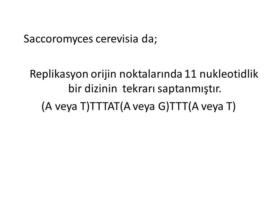 Saccoromyces cerevisia da; Replikasyon orijin noktalarında 11 nukleotidlik bir dizinin tekrarı saptanmıştır. (A veya T)TTTAT(A veya G)TTT(A veya T)