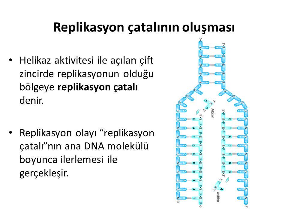 Replikasyon çatalının oluşması • Helikaz aktivitesi ile açılan çift zincirde replikasyonun olduğu bölgeye replikasyon çatalı denir. • Replikasyon olay