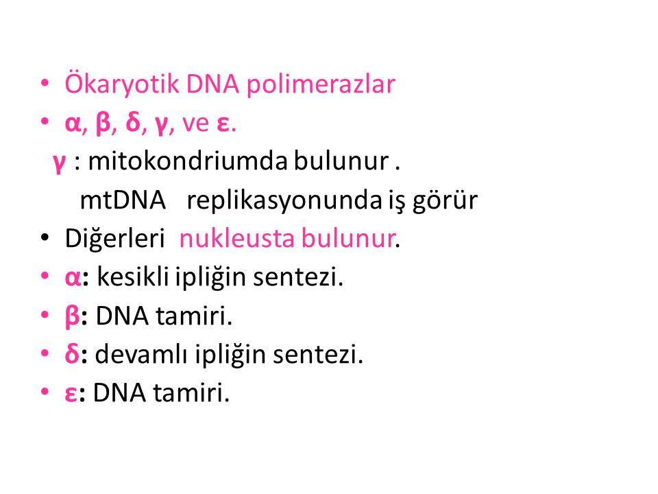 • Ökaryotik DNA polimerazlar • α, β, δ, γ, ve ε. γ : mitokondriumda bulunur. mtDNA replikasyonunda iş görür • Diğerleri nukleusta bulunur. • α: kesikl