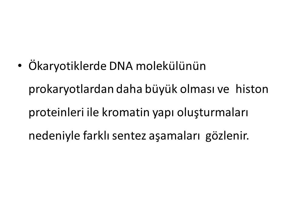 • Ökaryotiklerde DNA molekülünün prokaryotlardan daha büyük olması ve histon proteinleri ile kromatin yapı oluşturmaları nedeniyle farklı sentez aşama