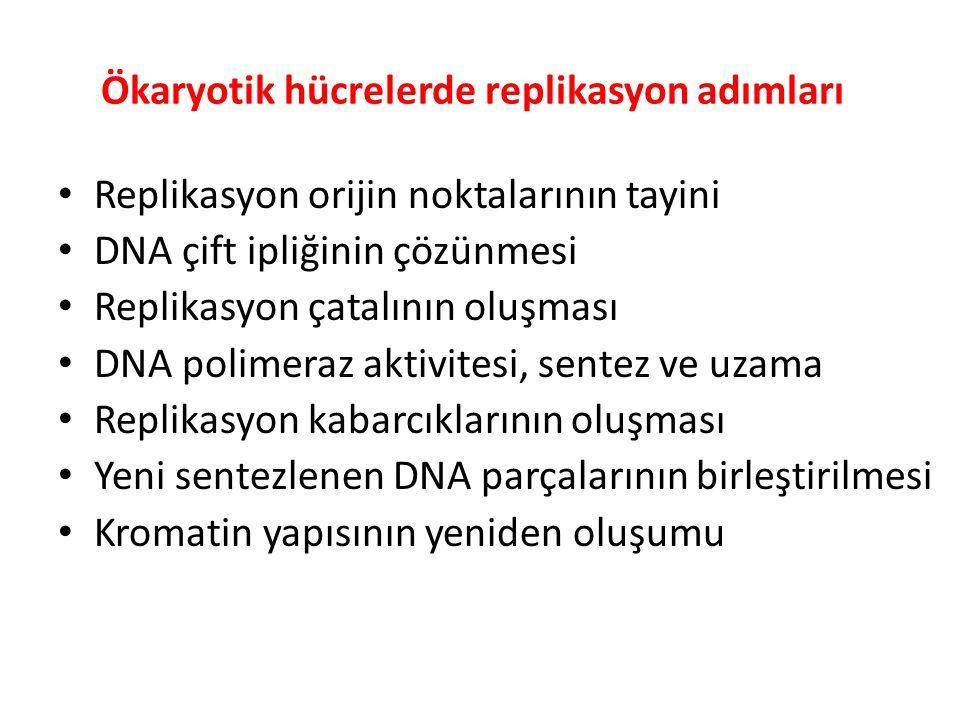 Ökaryotik hücrelerde replikasyon adımları • Replikasyon orijin noktalarının tayini • DNA çift ipliğinin çözünmesi • Replikasyon çatalının oluşması • D