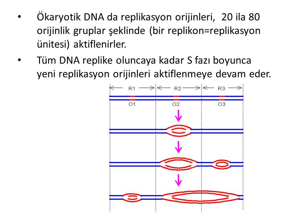 • Ökaryotik DNA da replikasyon orijinleri, 20 ila 80 orijinlik gruplar şeklinde (bir replikon=replikasyon ünitesi) aktiflenirler. • Tüm DNA replike ol